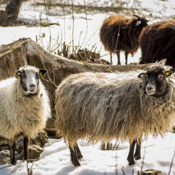 Sau- og lammekjøtt fra Sørflaen Gård
