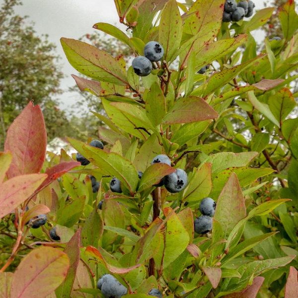 Hageblåbær fra Ruud Gård